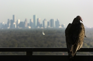 The turkey vulture is a scavenger and feeds mainly on carrion (AP Photo/David J. Phillip)